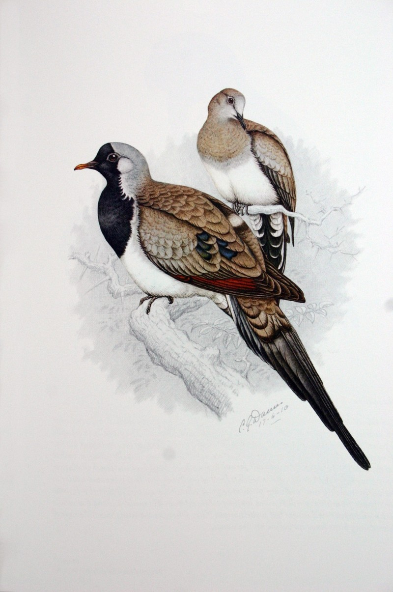 Namaqua Dove, Cape Dove (Oena capensis) - Wiki; DISPLAY FULL IMAGE.