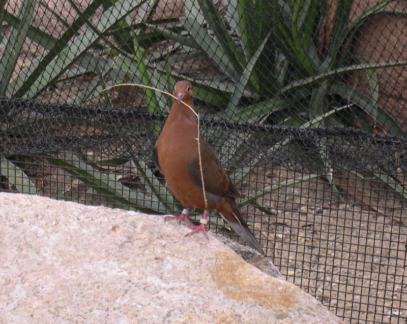 Socorro Dove (Zenaida graysoni) - Wiki; DISPLAY FULL IMAGE.