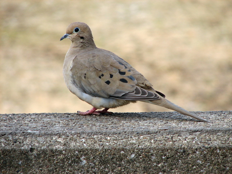 Zenaida doves (Genus: Zenaida) - Wiki; DISPLAY FULL IMAGE.