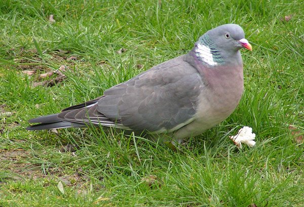 Typical Pigeons (Family: Columbidae, Genus: Columba) - Wiki; Image ONLY