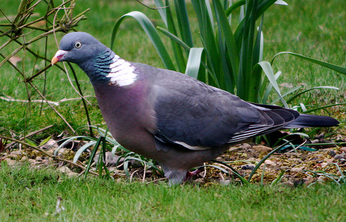 Common Wood Pigeon (Columba palumbus) - Wiki; Image ONLY