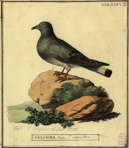 Hill Pigeon (Columba rupestris) - Wiki; Image ONLY