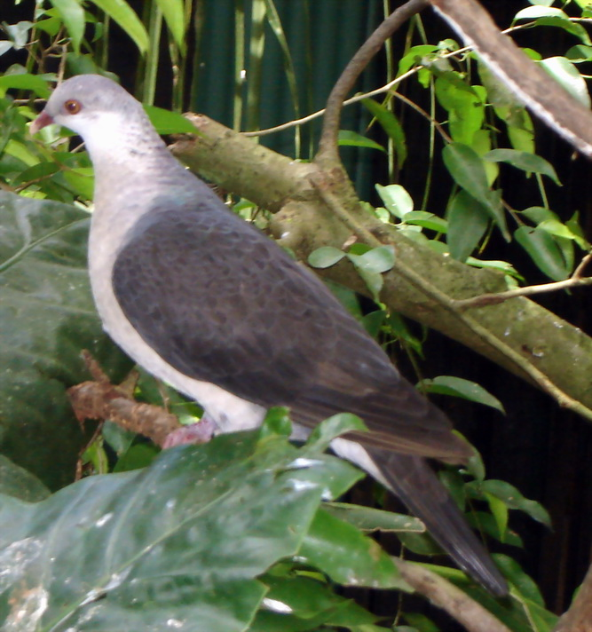 White-headed Pigeon (Columba leucomela) - Wiki; Image ONLY
