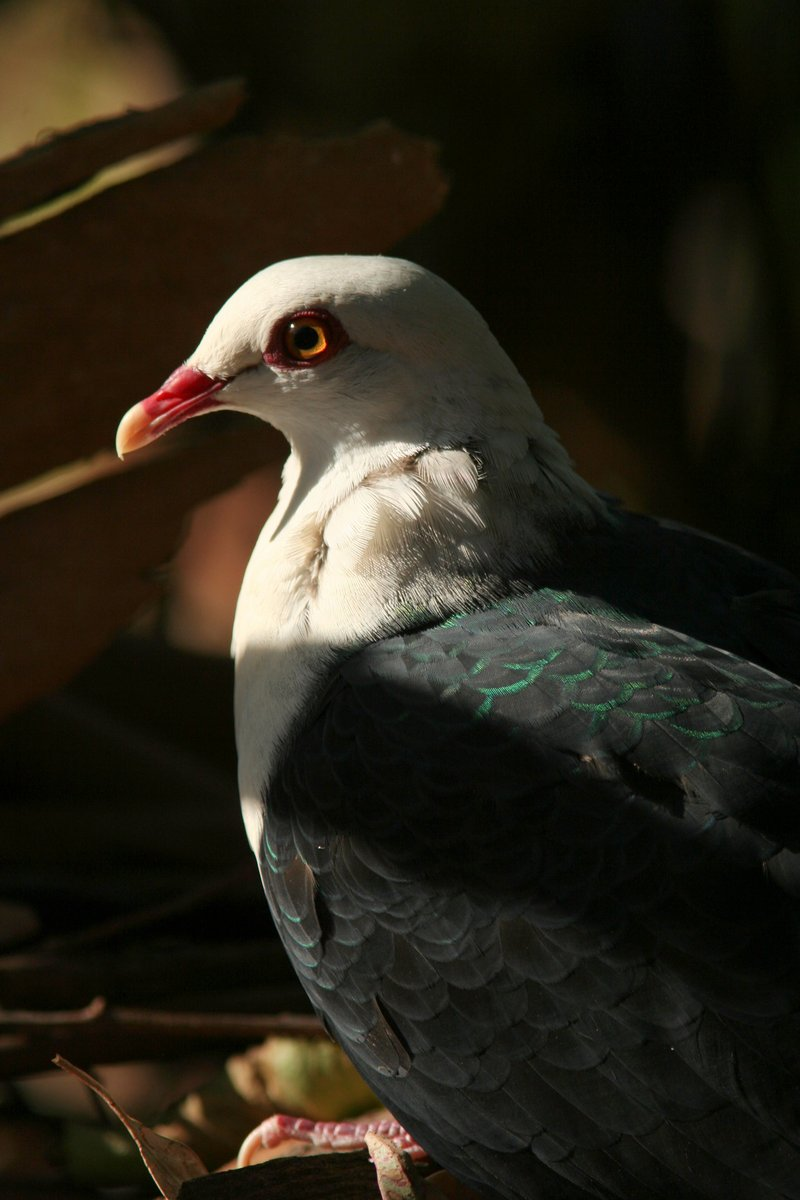White-headed Pigeon (Columba leucomela) closeup; DISPLAY FULL IMAGE.