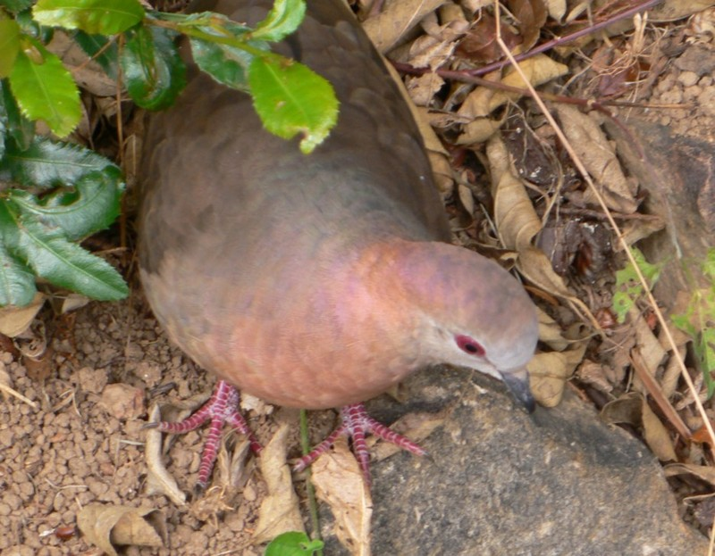 African Lemon-dove (Columba larvata) - Wiki; DISPLAY FULL IMAGE.