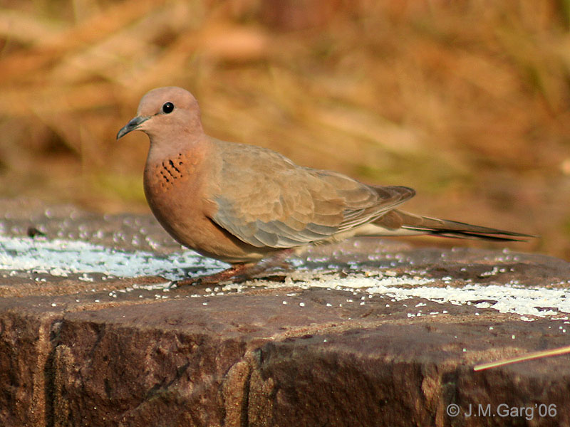 Genus Streptopelia (Family: Columbidae, Doves) - Wiki; DISPLAY FULL IMAGE.