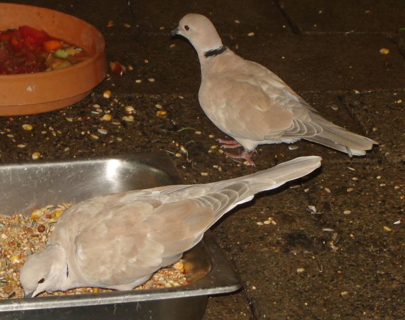 Barbary Dove (Streptopelia risoria) - Wiki; DISPLAY FULL IMAGE.