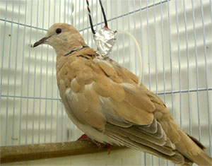 African Collared Dove (Streptopelia roseogrisea) - Wiki; Image ONLY