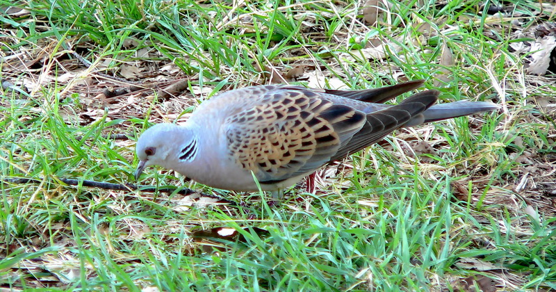 European Turtle Dove (Streptopelia turtur) - Wiki; Image ONLY