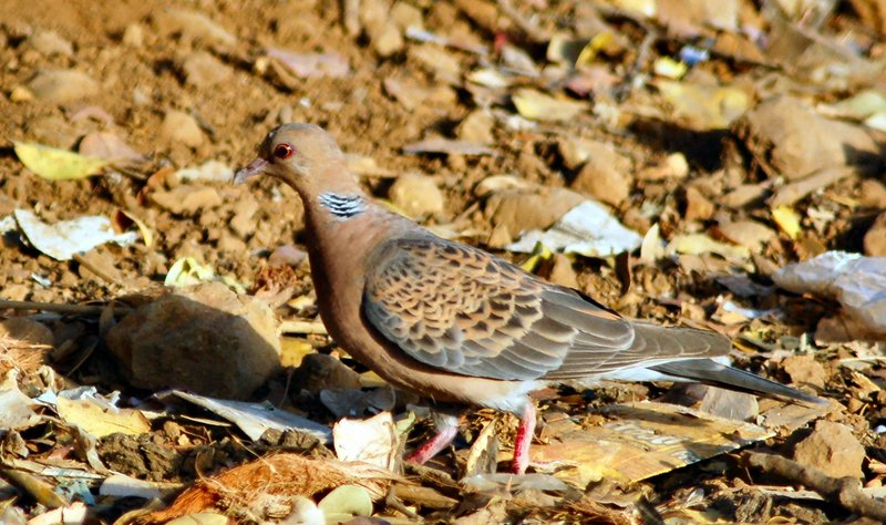 Oriental Turtle Dove (Streptopelia orientalis) - Wiki; DISPLAY FULL IMAGE.