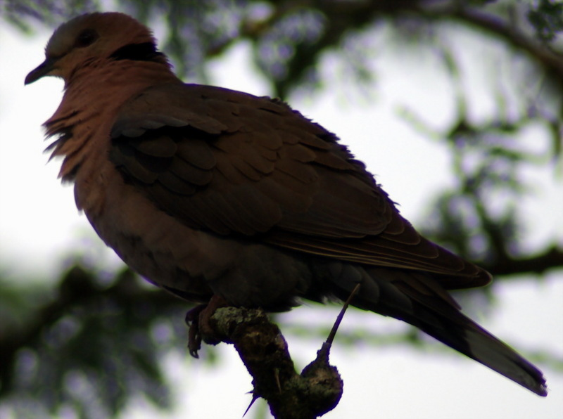 Red-eyed Dove (Streptopelia semitorquata) - Wiki; DISPLAY FULL IMAGE.