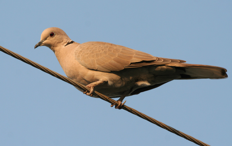 Red Collared Dove (Streptopelia tranquebarica) female; Image ONLY