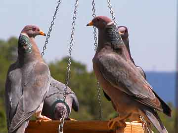 Patagioenas (Family: Columbidae, New World Pigeons) - Wiki; Image ONLY