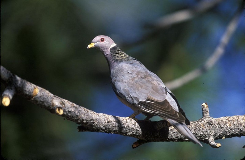 Band-tailed Pigeon (Patagioenas fasciata) - Wiki; DISPLAY FULL IMAGE.