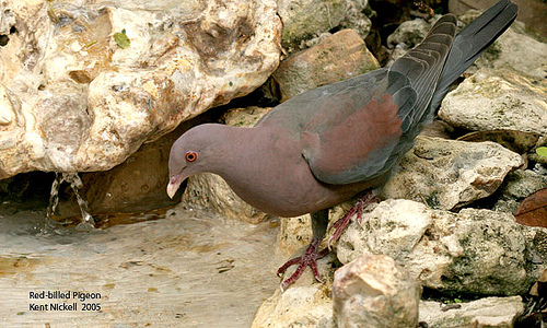 Red-billed Pigeon (Patagioenas flavirostris) - Wiki; Image ONLY