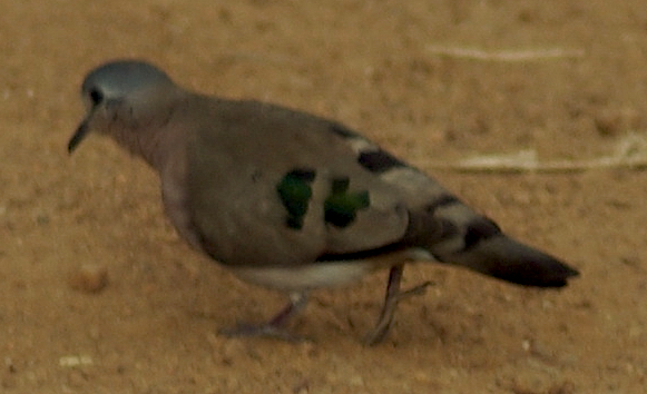 Emerald-spotted Wood Dove (Turtur chalcospilos) 1.jpg