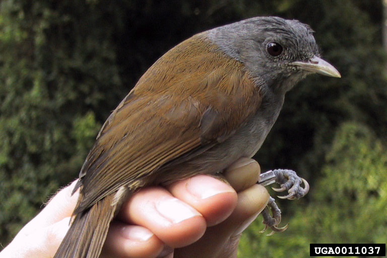 African Hill Babbler (Pseudoalcippe abyssinica) - Wiki; Image ONLY