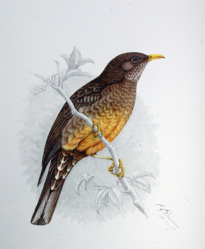 Olive Thrush (Turdus olivaceus) - Wiki; DISPLAY FULL IMAGE.