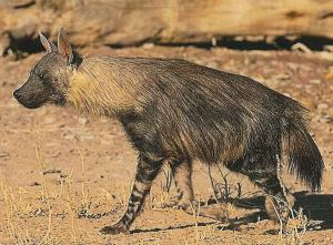Brown Hyena (Parahyaena brunnea) - Wiki; Image ONLY