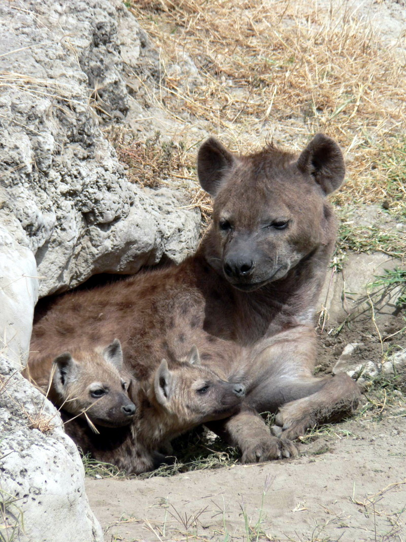 Hyena (Family: Hyaenidae) - Wiki; DISPLAY FULL IMAGE.