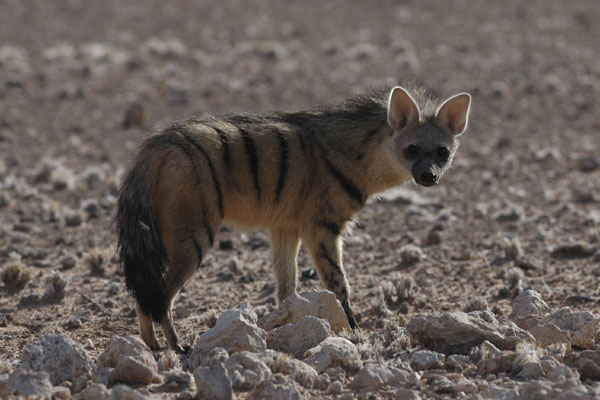 Aardwolf (Proteles cristatus) - Wiki; Image ONLY