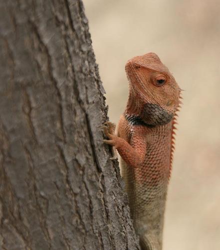 Oriental Garden Lizard Calotes Versicolor Wiki