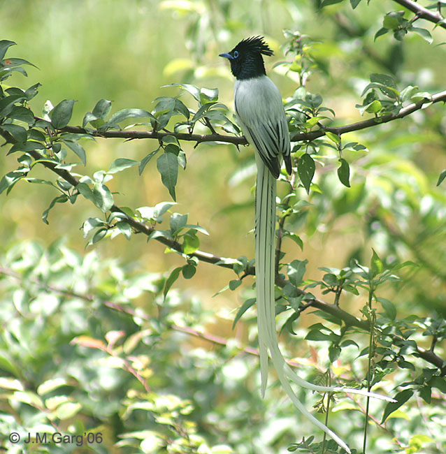 Asian Paradise-flycatcher (Terpsiphone paradisi) - Wiki; Image ONLY