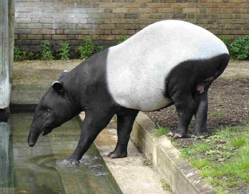 Malayan Tapir (Tapirus indicus) - Wiki; DISPLAY FULL IMAGE.
