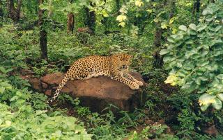 Indian Leopard (Panthera pardus fusca) - Wiki; Image ONLY