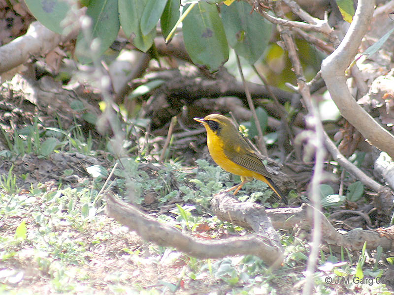 Golden Bush-robin (Tarsiger chrysaeus) male; Image ONLY