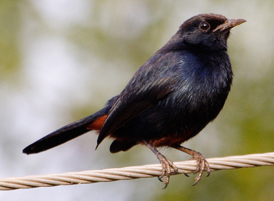 Indian Robin (Saxicoloides fulicata) - Wiki; Image ONLY