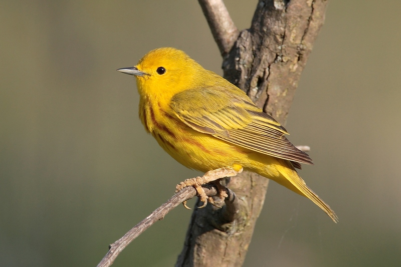 Yellow Warbler (Dendroica petechia) - Wiki; DISPLAY FULL IMAGE.