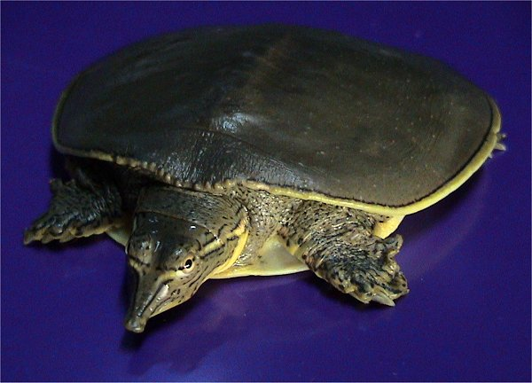Spiny Softshell Turtle (Apalone spinifera) - Wiki; Image ONLY
