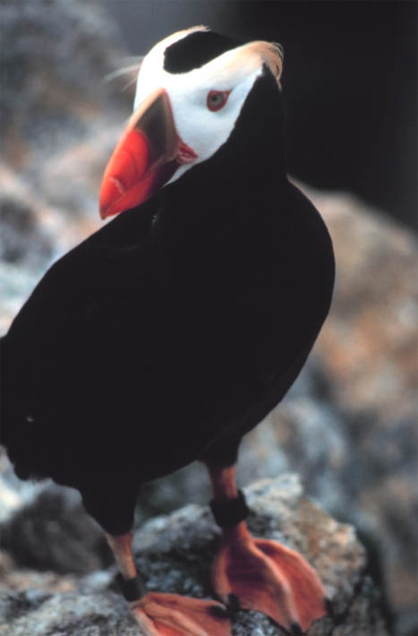 Tufted Puffin (Fratercula cirrhata) - Wiki; Image ONLY