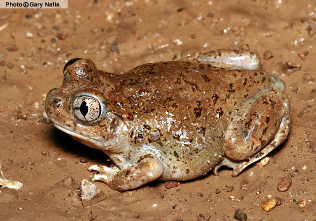 New Mexico Spadefoot Toad (Spea multiplicata) - Wiki; Image ONLY