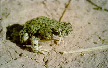 Green Toad (Bufo debilis) - Wiki; Image ONLY