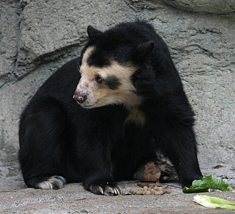 Spectacled Bear (Tremarctos ornatus) - Wiki; DISPLAY FULL IMAGE.