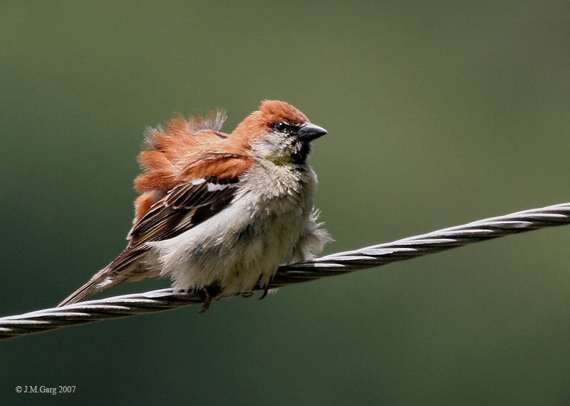 Old World Sparrow (Family: Passeridae, Genus: Passer) - Wiki; Image ONLY