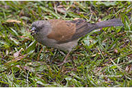 Grey-headed Sparrow (Passer griseus) - Wiki; Image ONLY