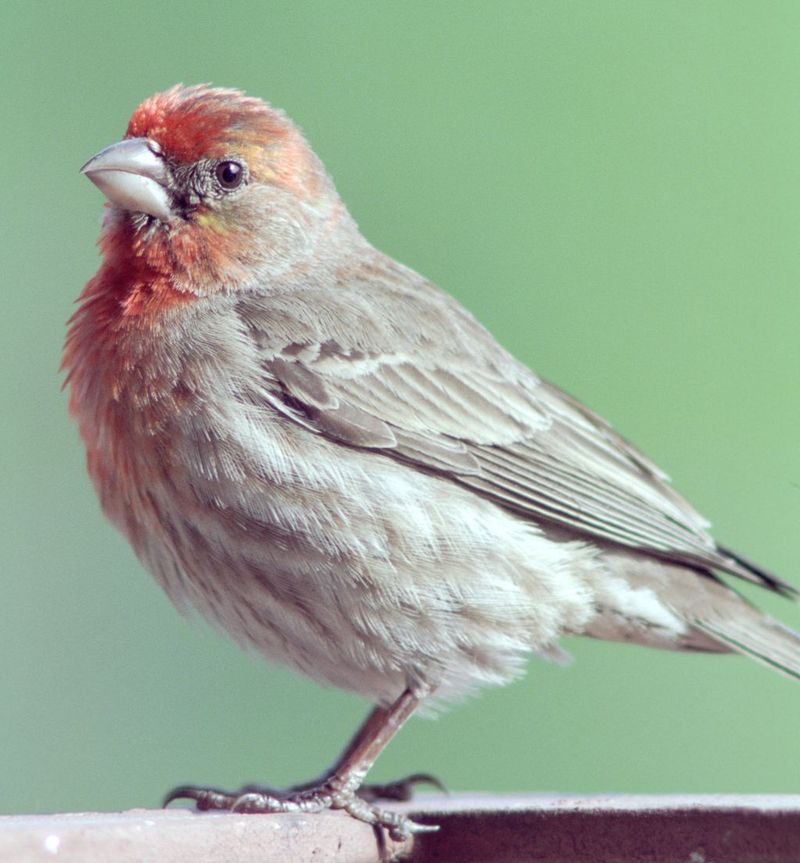 House Finch (Carpodacus mexicanus) - Wiki; DISPLAY FULL IMAGE.