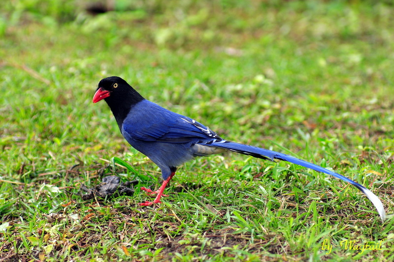 Formosan Blue Magpie (Urocissa caerulea) - Wiki; DISPLAY FULL IMAGE.