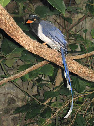 Red-billed Blue Magpie (Urocissa erythrorhyncha) - Wiki; Image ONLY