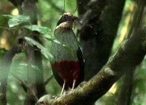 Green-breasted Pitta (Pitta reichenowi) - Wiki; Image ONLY