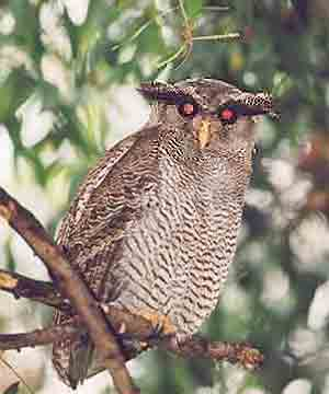 Barred Eagle-owl (Bubo sumatranus) - Wiki; Image ONLY