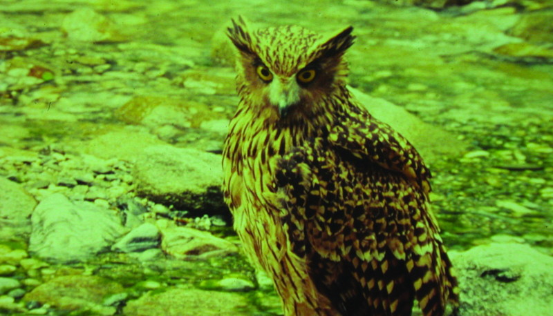 Tawny Fish-owl (Bubo flavipes) - Wiki; DISPLAY FULL IMAGE.