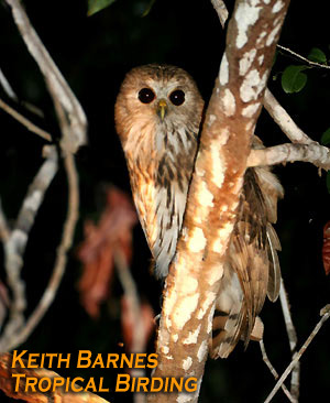 Vermiculated Fishing-owl (Bubo bouvieri) - Wiki; Image ONLY