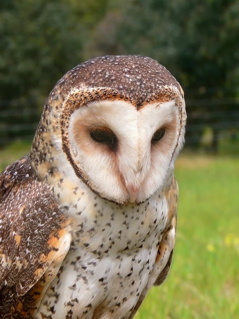 Family: Tytonidae (Barn-owls, Masked Owls) - Wiki; DISPLAY FULL IMAGE.