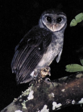 Greater Sooty Owl (Tyto tenebricosa) - Wiki; Image ONLY