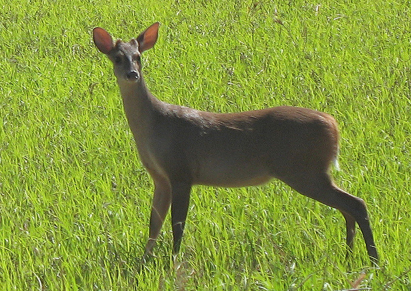 Red Brocket Deer (Mazama americana) - Wiki; DISPLAY FULL IMAGE.