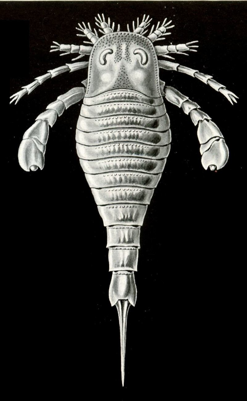 Eurypterid, Sea Scorpion (Class: Eurypterida) - Wiki; DISPLAY FULL IMAGE.